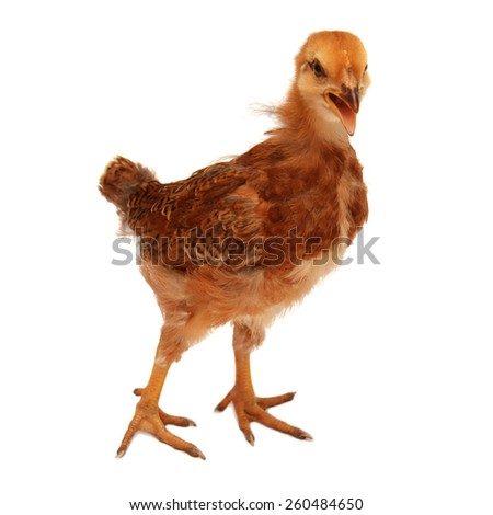 Beautiful chick isolated on white background - stock photo