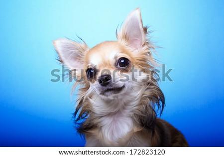 Beautiful chihuahua dog. Animal portrait. Stylish photo. Blue background.  - stock photo