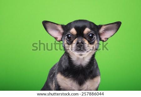 Beautiful chihuahua dog. Animal portrait. Stylish photo. Green background. Collection of funny animals - stock photo