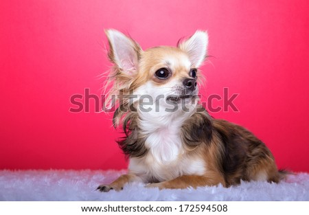 Beautiful chihuahua dog. Animal portrait. Stylish photo. Pink background. Colorful decorations. Collection of funny animals
