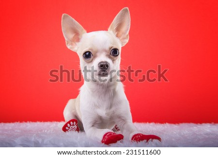 Beautiful chihuahua dog. Animal portrait. Stylish photo. Red background - stock photo