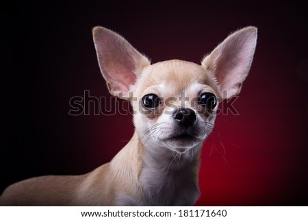 Beautiful chihuahua dog. Animal portrait. Stylish photo. Red background. Collection of funny animals