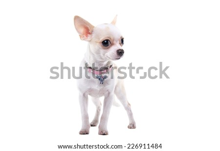 Beautiful chihuahua dog. Animal portrait. Stylish photo. White background. Isolated