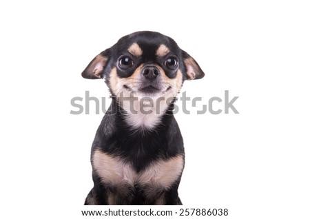 Beautiful chihuahua dog. Animal portrait. Stylish photo. White background. Isolated - stock photo