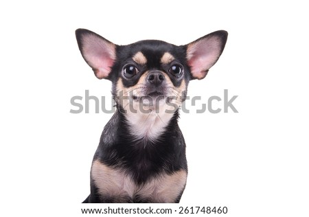 Beautiful chihuahua dog. Animal portrait. Stylish photo. White background. Isolated - stock photo