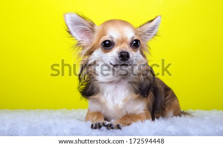Beautiful chihuahua dog. Animal portrait. Stylish photo. Yellow background. Colorful decorations. Collection of funny animals.