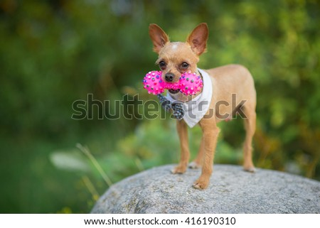 Beautiful chihuahua dog with bow-tie. Animal portrait. Chihuahua dog in stylish clothes. Green background. Colorful decorations. Collection of funny animals.A small dog with a toy - stock photo