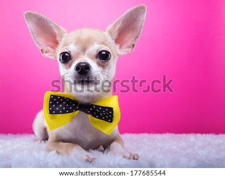 Beautiful chihuahua dog with bow-tie. Animal portrait. Chihuahua dog in stylish clothes. Pink background. Colorful decorations. Collection of funny animals - stock photo