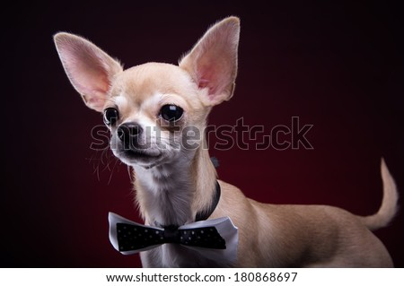 Beautiful chihuahua dog with bow-tie. Animal portrait. Chihuahua dog in stylish clothes. Red background. Colorful decorations. Collection of funny animals