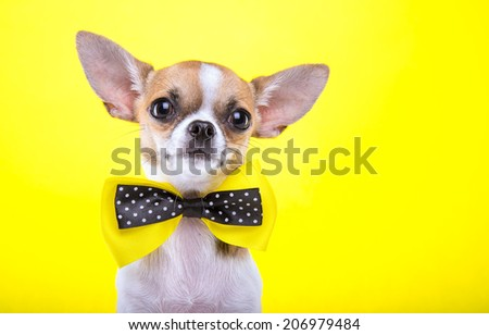 Beautiful chihuahua dog with bow-tie. Animal portrait. Chihuahua dog in stylish clothes. Yellow background. Colorful decorations. Collection of funny animals - stock photo