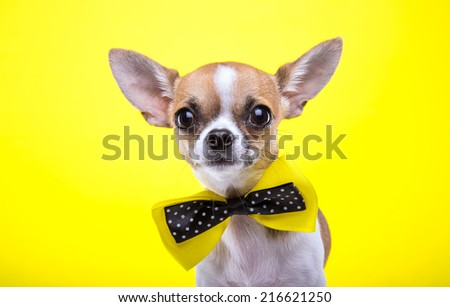 Beautiful chihuahua dog with bow-tie. Animal portrait. Chihuahua dog in stylish clothes. Yellow background. Colorful decorations - stock photo