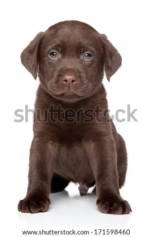 Beautiful chocolate Labrador puppy sits on white background - stock photo