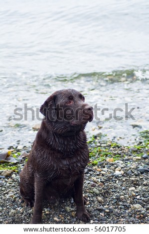 Beautiful chocolate Labrador Retriever sitting on the beach with ocean waves coming in behind him - stock photo