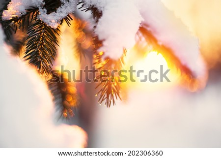 Beautiful christmas evergreen spruce tree with fresh snow in sunset light - stock photo
