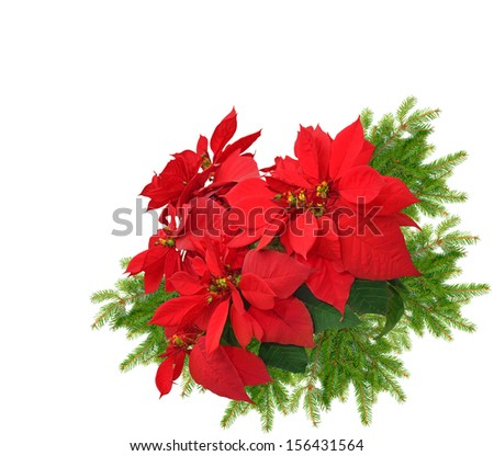 beautiful christmas tree branch with red poinsettia flower on white background