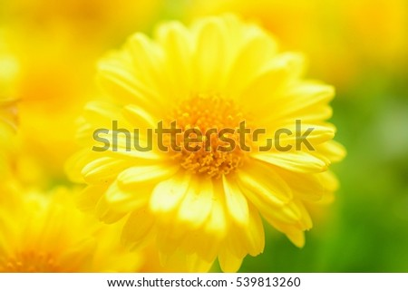 Beautiful Chrysanthemum close up