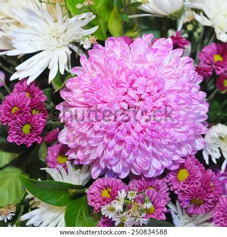 beautiful chrysanthemum flower  - stock photo