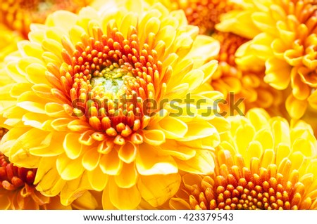 Beautiful chrysanthemum flower background