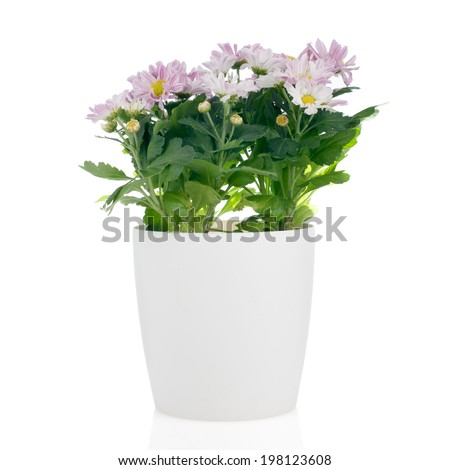 Beautiful Chrysanthemum flowers in a white flowerpot on white background. - stock photo