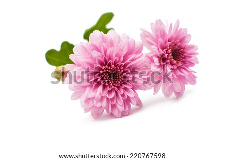beautiful chrysanthemum isolated on white background - stock photo