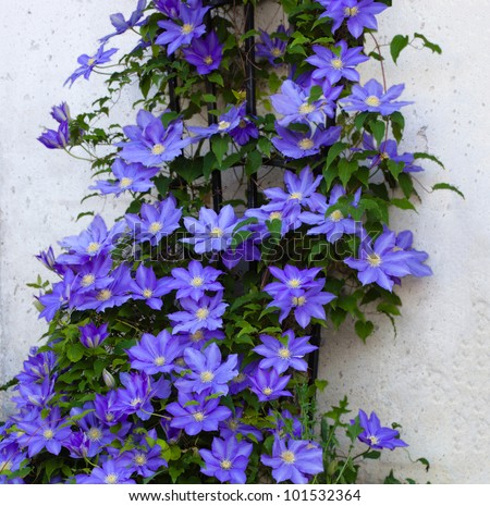 Beautiful Clematis Flower Vine on a Trellis - stock photo
