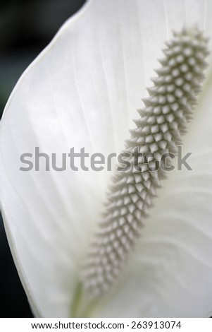 Beautiful close up detail shot of a large white flowers stamen - stock photo