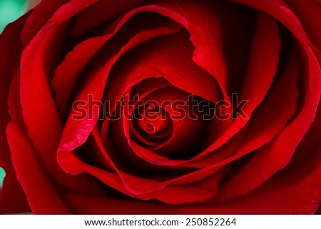 Beautiful close up of red rose - stock photo