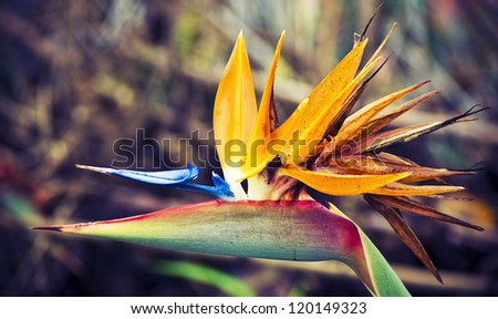 Beautiful close up of the blossom of the bird of the paradise flower, traditional one of Madeira island, Portugal