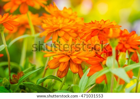 beautiful Close up of Vibrant Orange Zinnia Flower in the garden