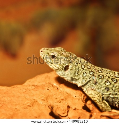 Beautiful close up photo of a lizard. The reptile lives in wild & cultivated habitats in Spain, Portugal, France, Italy. It prefers dry, rocky, sandy & bushy areas. Amazing Ocellated Lizard - stock photo