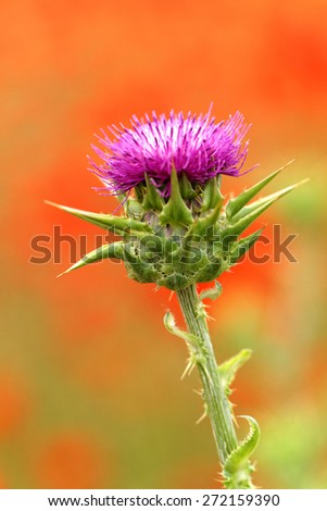 Beautiful close up photo of a purple thistle - stock photo