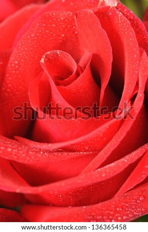 beautiful close up red rose