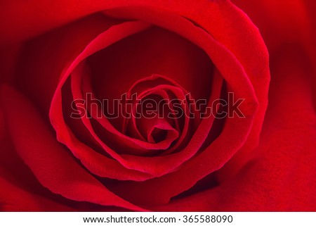 Beautiful close up red rose,Valentines day concept - stock photo