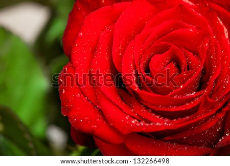 beautiful close up red rose with water droplets.