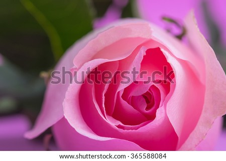 Beautiful close up rose,Valentines day concept - stock photo