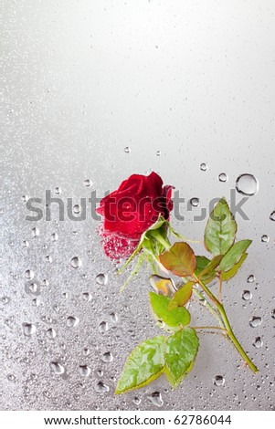 beautiful close-up rose with water drops - stock photo