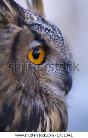 Beautiful close ups of barn owl 05