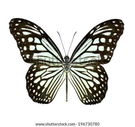 Beautiful closeup Dark Glassy Tiger Butterfly isolate on white background.(Parantica agleoides)