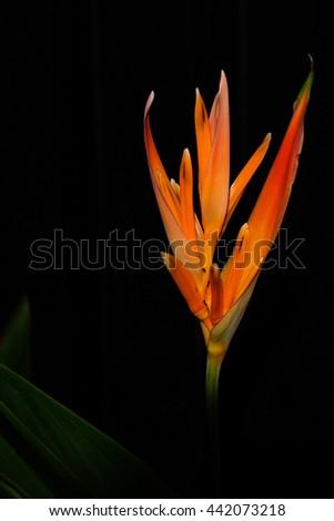beautiful closeup  Strelitzia flower or bird of paradise flower - stock photo