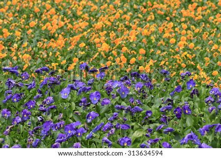 beautiful clustered Cineraria in full bloom  - stock photo