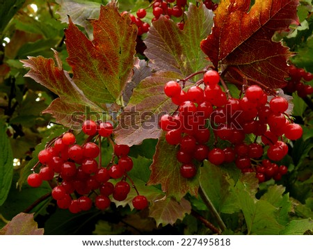 beautiful clusters of red viburnum among autumnal leaves - stock photo