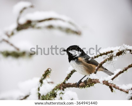 Beautiful coal tit in the snow in winter