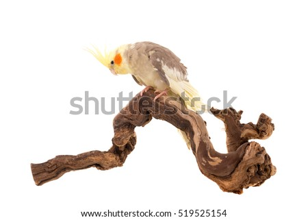 Beautiful Cockatiel posing in a branch isolated in white