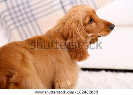 Beautiful cocker spaniel in room - stock photo