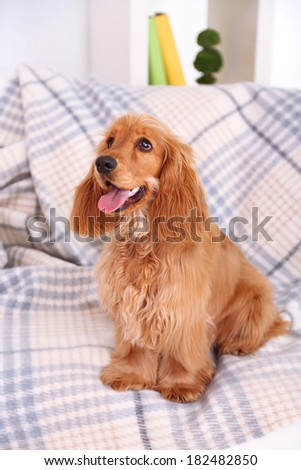 Beautiful cocker spaniel on couch in room - stock photo