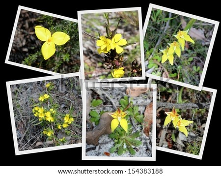 Beautiful collage presentation of  yellow wild flowers - yellow flag iris, hibbertia and cowslip orchids  growing Crooked Brook national park near Dardanup south western Australia in early spring. - stock photo