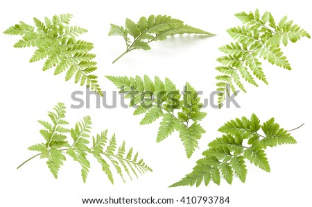 beautiful collection fern  isolated on white background - stock photo
