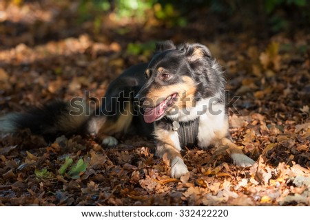 beautiful collie dog laying on autumn leaves - stock photo