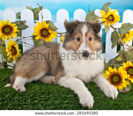 Beautiful Collie puppy laying in the grass with a white picket fence draped with sunflowers behind her.