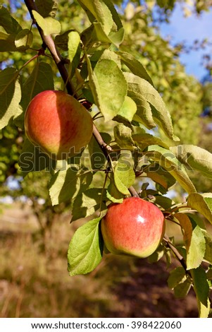 Beautiful color fresh apples on a branch of the tree in the orchard  - stock photo